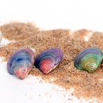 DIY Seashell Earrings